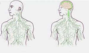Прорыв в нейроиммунологии - ЦНС содержит лимфатическую сосудистую сеть.